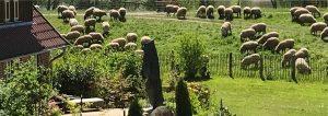 Schafe am Landhaus